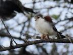 Pygmy Falcon – immature-f.