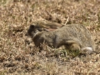 Camouflage of Scrub Hare