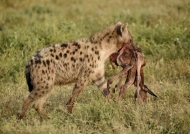 Spotted Hyena….