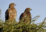 tawny eagle – ad. & juv at left