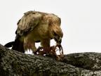 Tawny Eagle eating a prey
