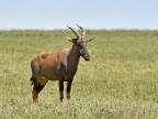 Topi – social & fast antelope