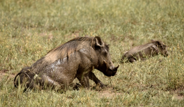 Warthog – male