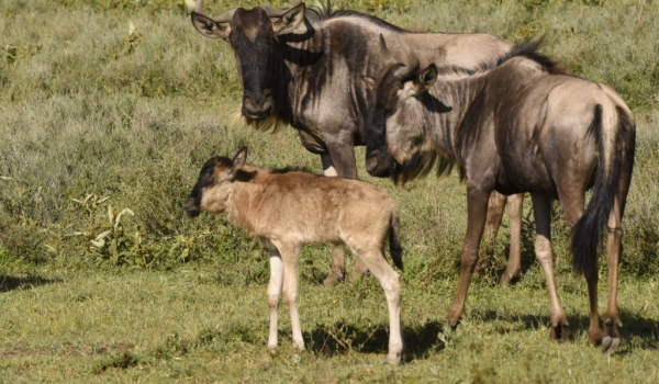Wildebeests with calf