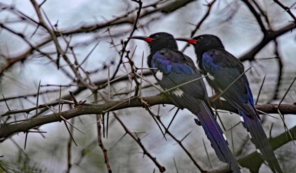 Violet Wood Hoopoes