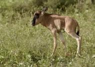 This Blue Wildebeest baby….