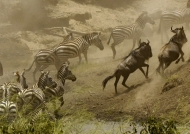Blue Wildebeests & Zebras….
