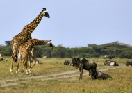 Giraffes greeting Wildebeests….