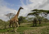Masai Giraffe….