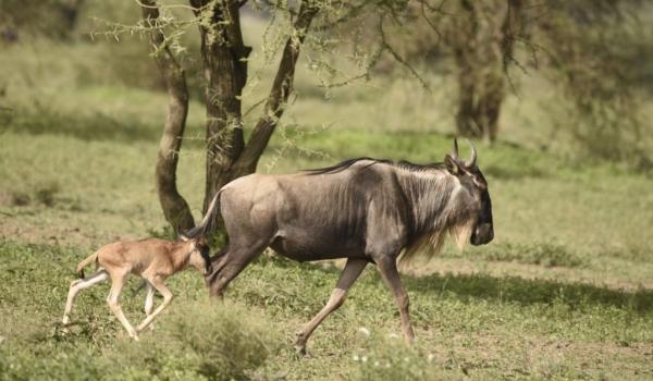 Mother Wildebeest & her baby