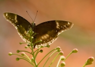 Great Eggfly – female