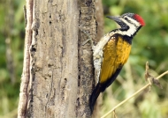 Black-rumped Flameback-f.
