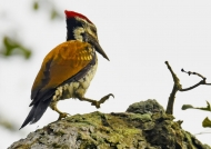 Black-rumped Flameback-m.