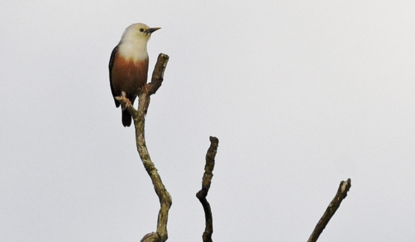 Blyth's Starling – India