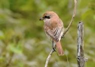 Brown Shrike – India