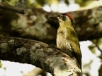 Streak-throated Woodpecker-m. – India