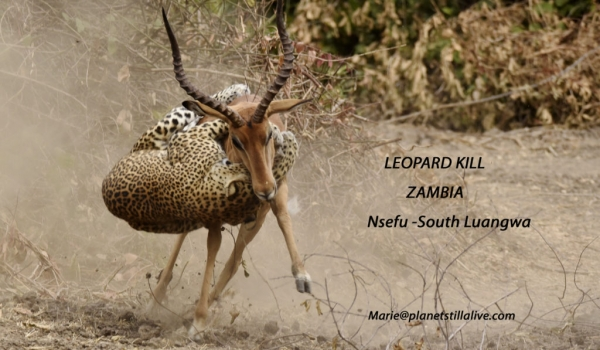 Leopard Attacks Impala in Spectacular Fight   ———————-47K VIEWS