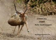 Leopard Attacks Impala in Spectacular Fight   ———————-49K VIEWS