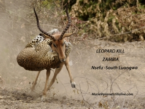 Leopard Attacks Impala in Spectacular Fight   ———————-26K VIEWS