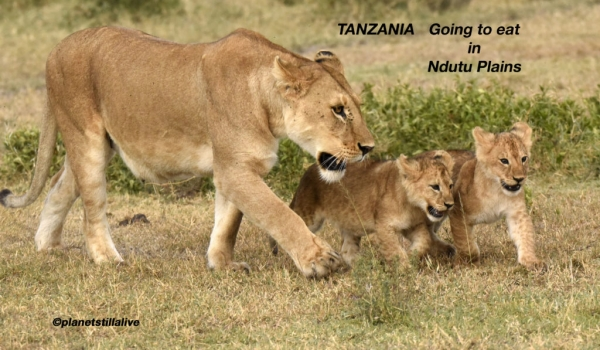 4 Lion Cubs going to eat with Mom in the plain ———————230K VIEWS