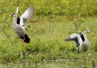 Indian Spot-billed Ducks