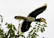 Malabar Pied Hornbill – f.