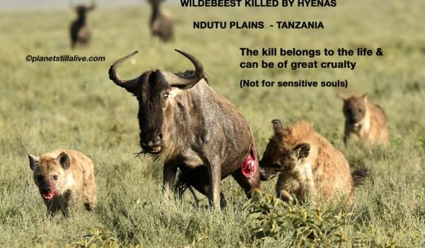 Wildebeest Killed by 2 fierce Hyenas        ———————-240K VIEWS
