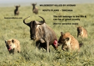 Wildebeest Killed by 2 fierce Hyenas        ———————-241K VIEWS