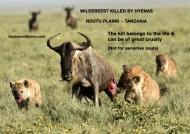 Wildebeest Killed by 2 fierce Hyenas        ———————-242K VIEWS