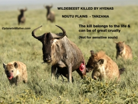 Wildebeest Killed by 2 fierce Hyenas        ———————-239K VIEWS