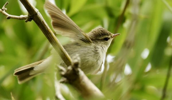 Greenish Warbler – India