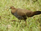Grey Junglefowl – f.