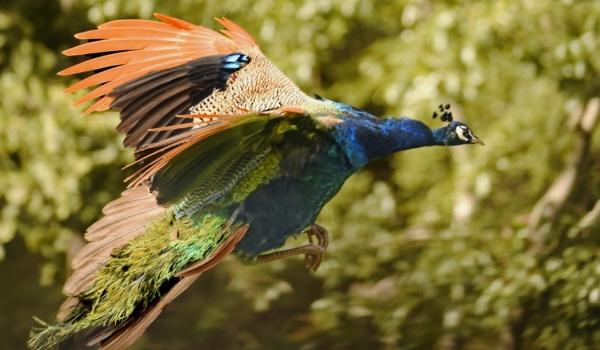 Indian Peafowl – m.
