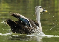 Indian Spot-billed Duck