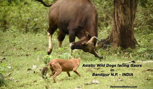 Asiatic Wild Dogs facing Gaurs                       ————————–195K VIEWS
