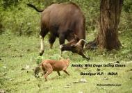 Asiatic Wild Dogs facing Gaurs                       ————————–245K VIEWS