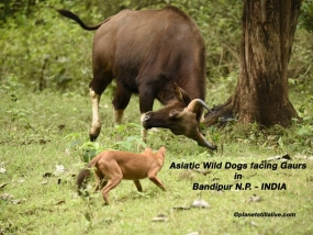 Asiatic Wild Dogs facing Gaurs                       ————————–174K VIEWS