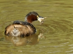 Little Grebe with Frog