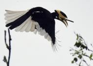 Malabar Pied Hornbill – m.