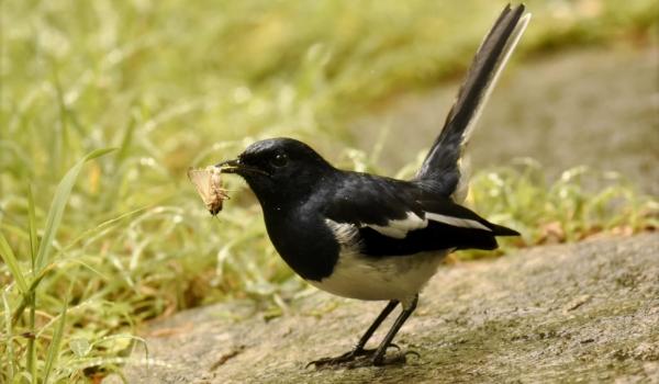 Oriental Magpie Robin – m.