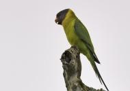 Plum-headed Parakeet – female – India