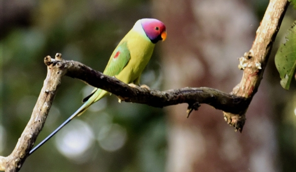 Plum-headed Parakeet – male – India