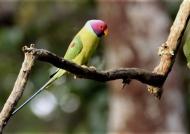 Plum-headed Parakeet – male – India