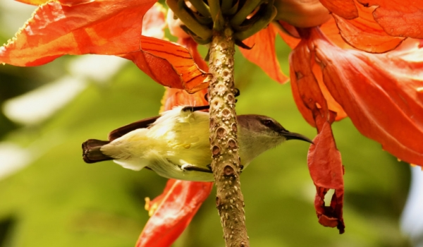 Purple Sunbird – female – India