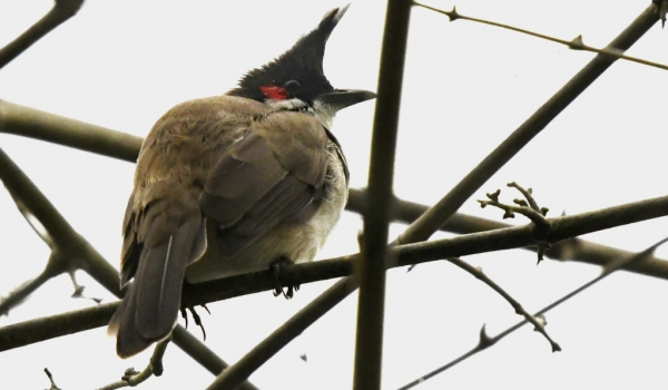Red-whiskered Bulbul – India