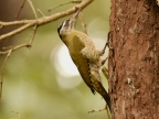 Streak-throated Woodpecker-f. – India