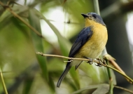 Tickell's Blue Flycatcher-f.