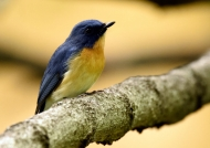 Tickell's Blue Flycatcher-male