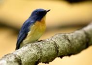 Tickell's Blue Flycatcher-male