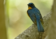 Tickell's Blue Flycatcher-m